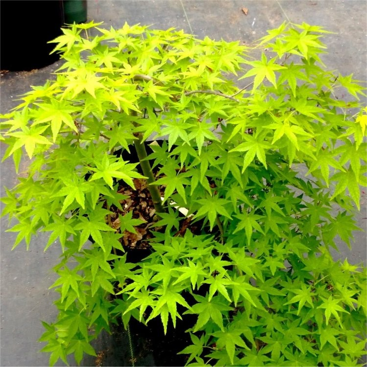 Acer Palmatum Cascade Gold Golden Foliage Weeping Waterfall