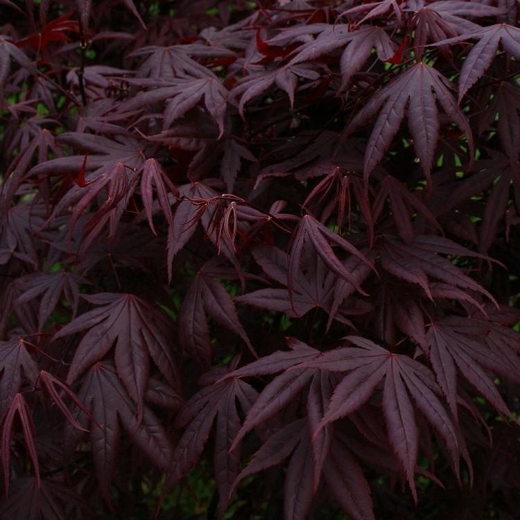 Acer Palmatum Atropurpureum Bloodgood Deep Purple Japanese