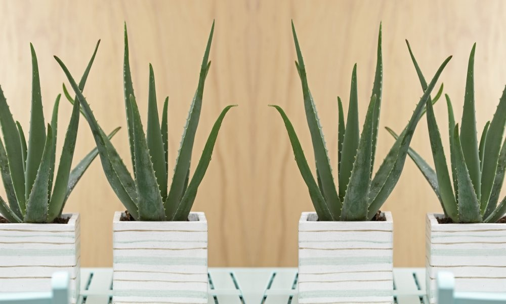 aloe vera succulent plant. Black Bedroom Furniture Sets. Home Design Ideas