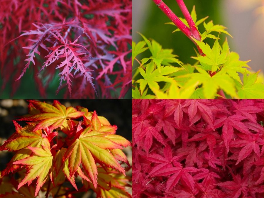 Special Deal Amazing Acers Japanese Maple Collection
