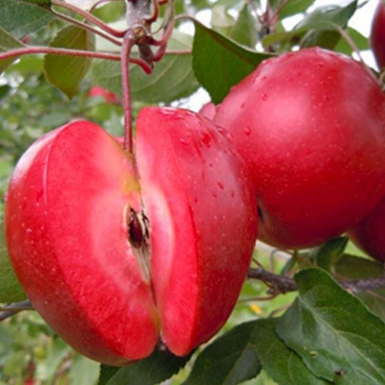 special deal apple tree redlove era 150cm fruit. Black Bedroom Furniture Sets. Home Design Ideas