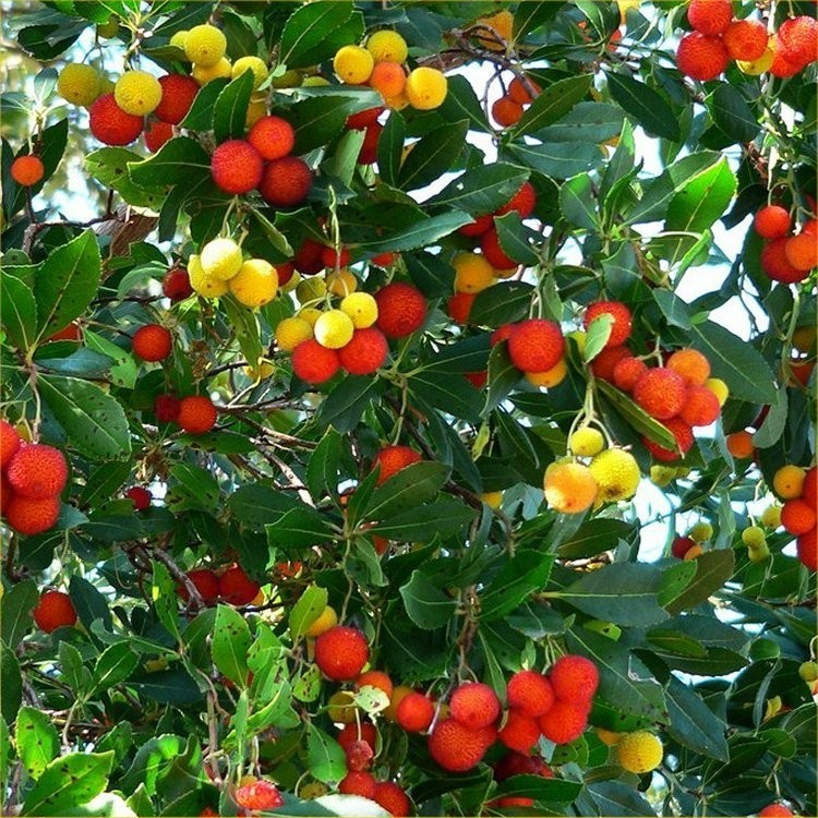 Arbutus Unedo Strawberry Tree