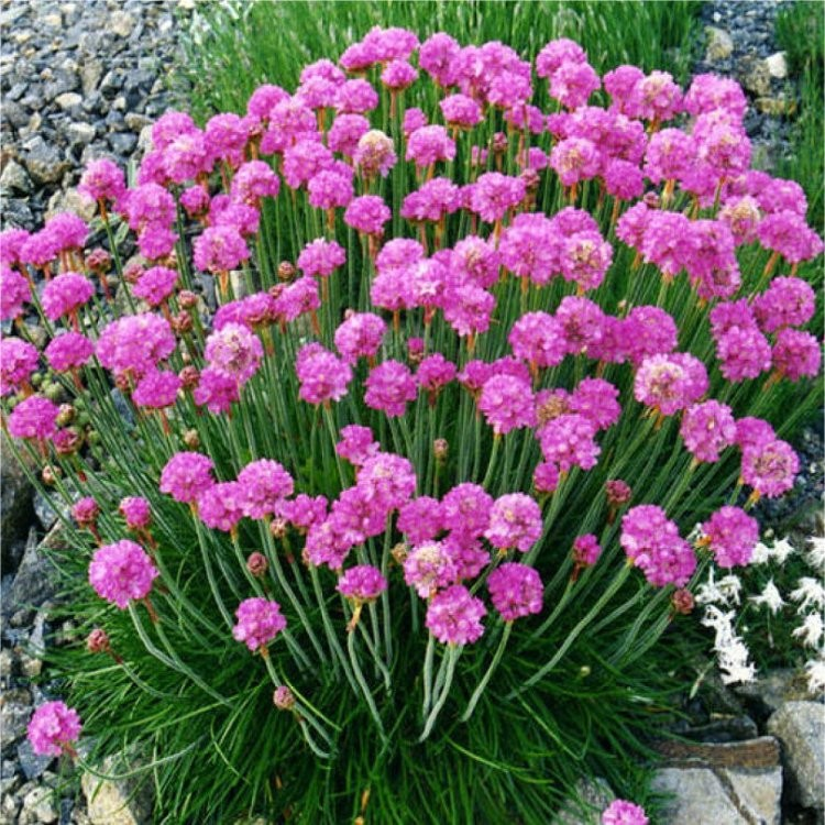 Armeria Maritima Splendens Sea Thrift Plants