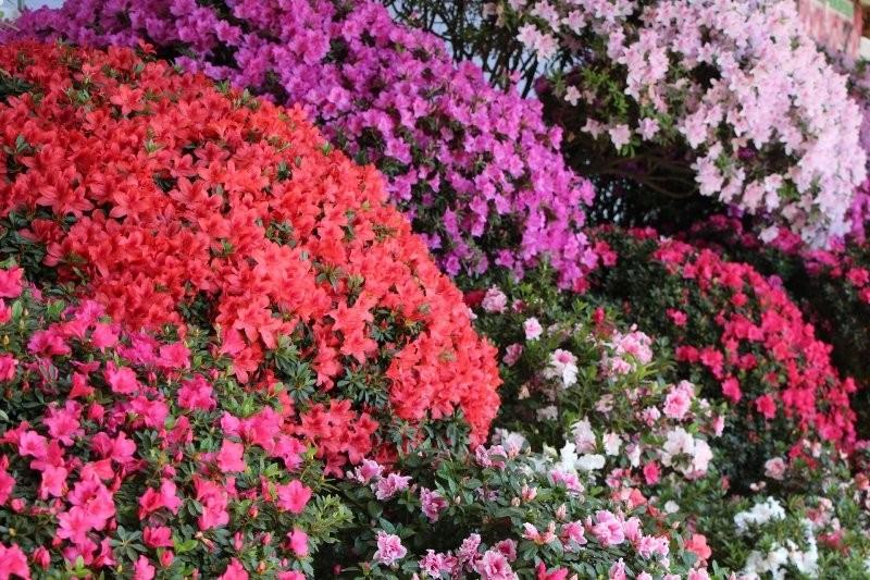 Special deal rainbow azalea japonica collection for Azalea japonica