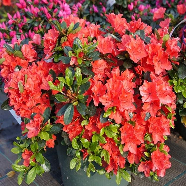 Azalea japonica 39 orange beauty 39 evergreen orange red for Azalea japonica