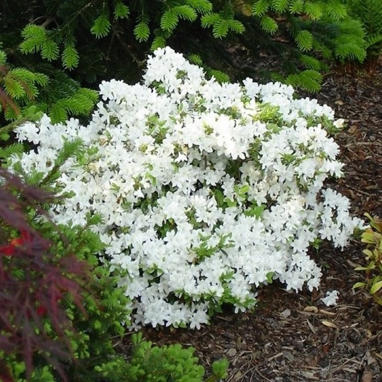 Azalea japonica pleasant white pack of three plants mightylinksfo