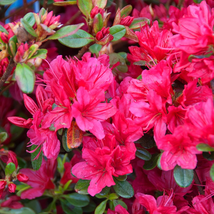 Picture of Live Red Double Azalea aka Azalea 'Redbird' Shrubs Plant Fit 5 Gallon Pot