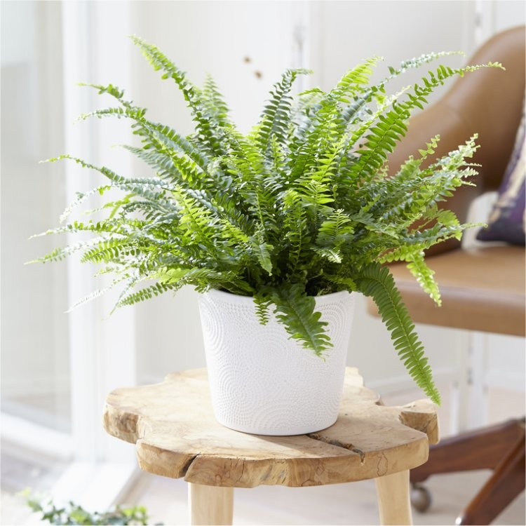 Fern in White Display Pot