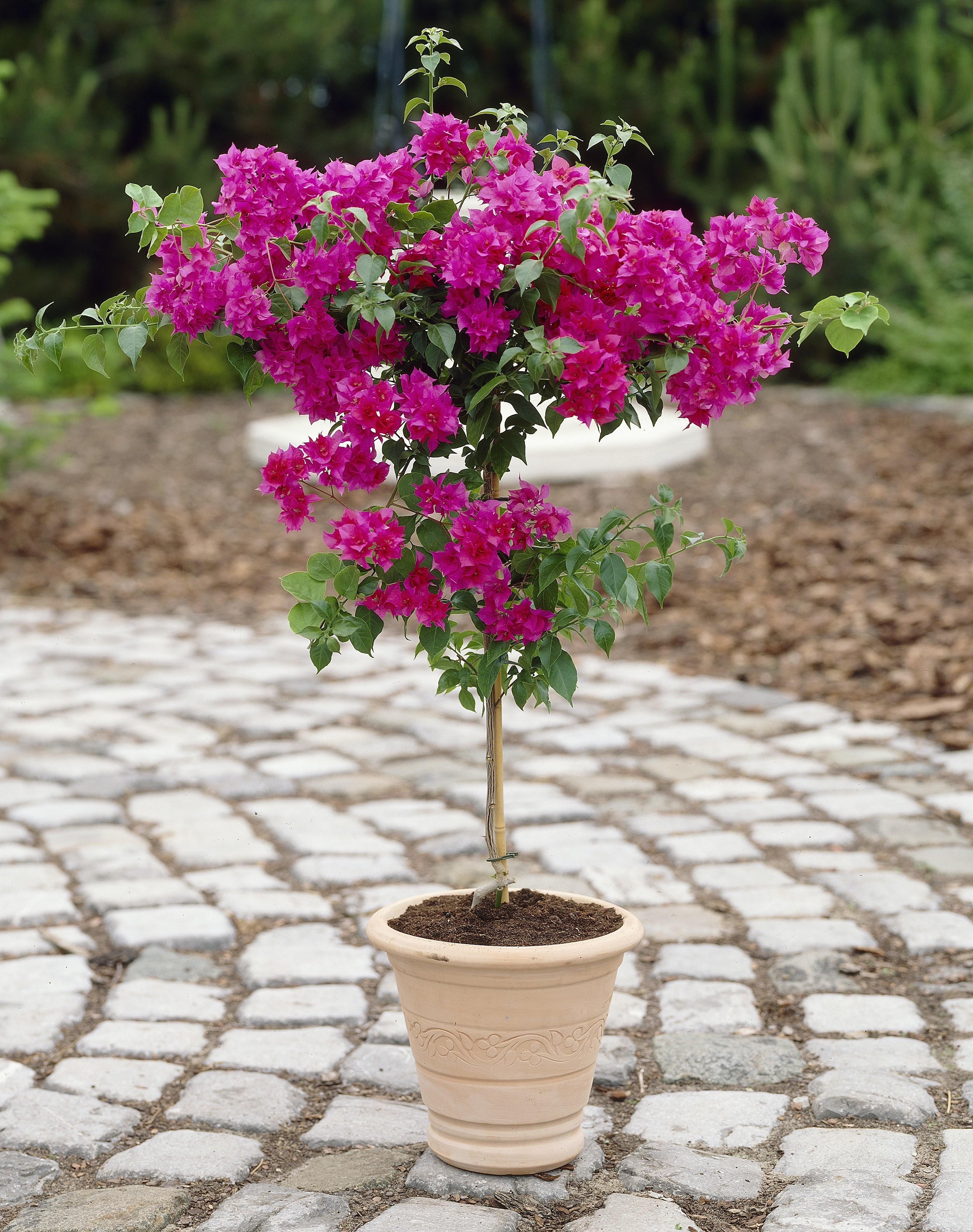 Patio Tree in Bud \u0026 Bloom