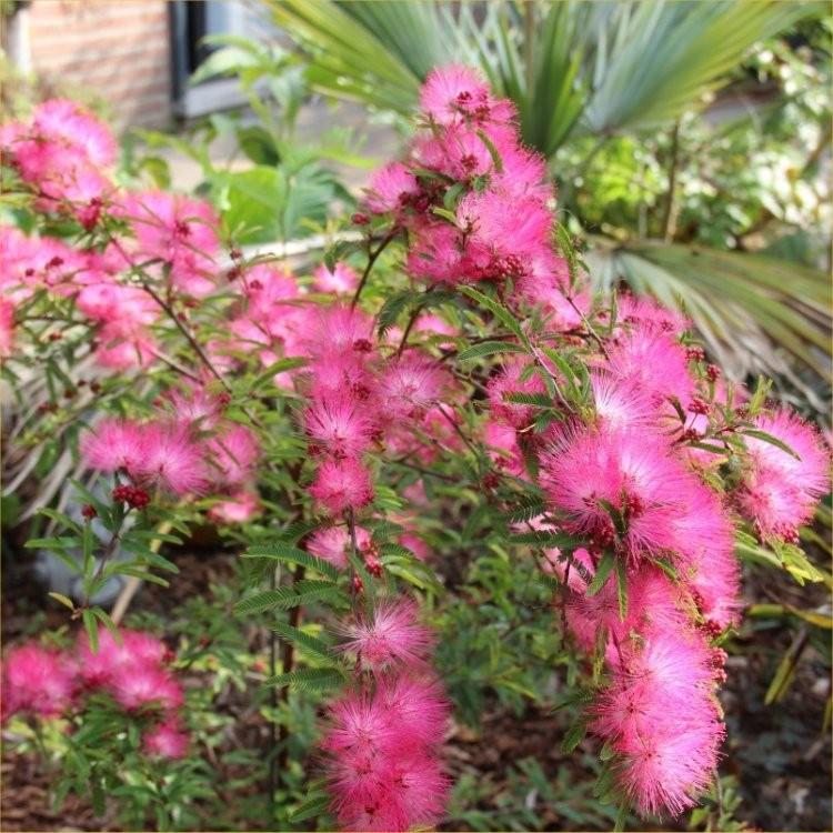Calliandra Dixie Pink Surinam Powder Puff Tree
