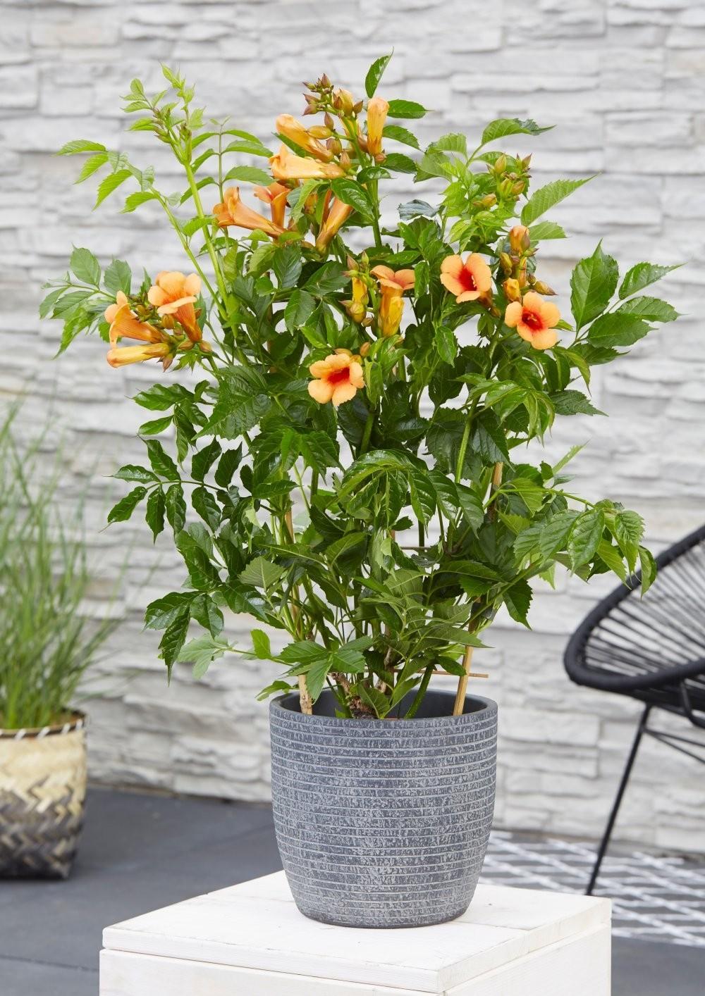 campsis indian summer large specimen trumpet vine. Black Bedroom Furniture Sets. Home Design Ideas