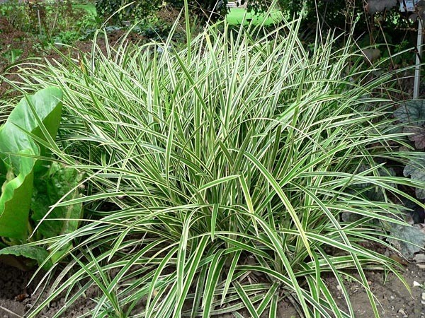 Special deal carex morrowii 39 ice dance 39 large plants for Large ornamental grass plants