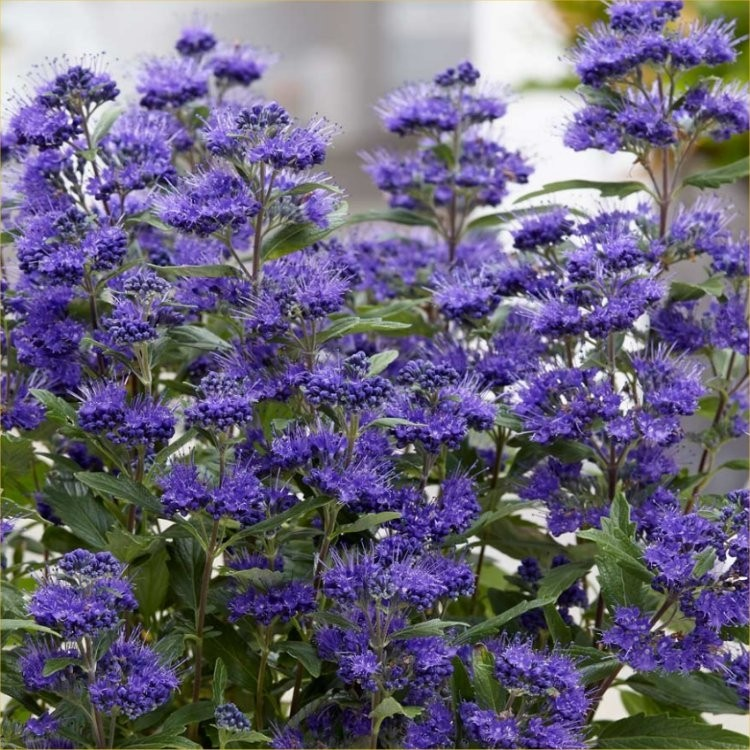 Caryopteris 215 Clandonensis Grand Blue