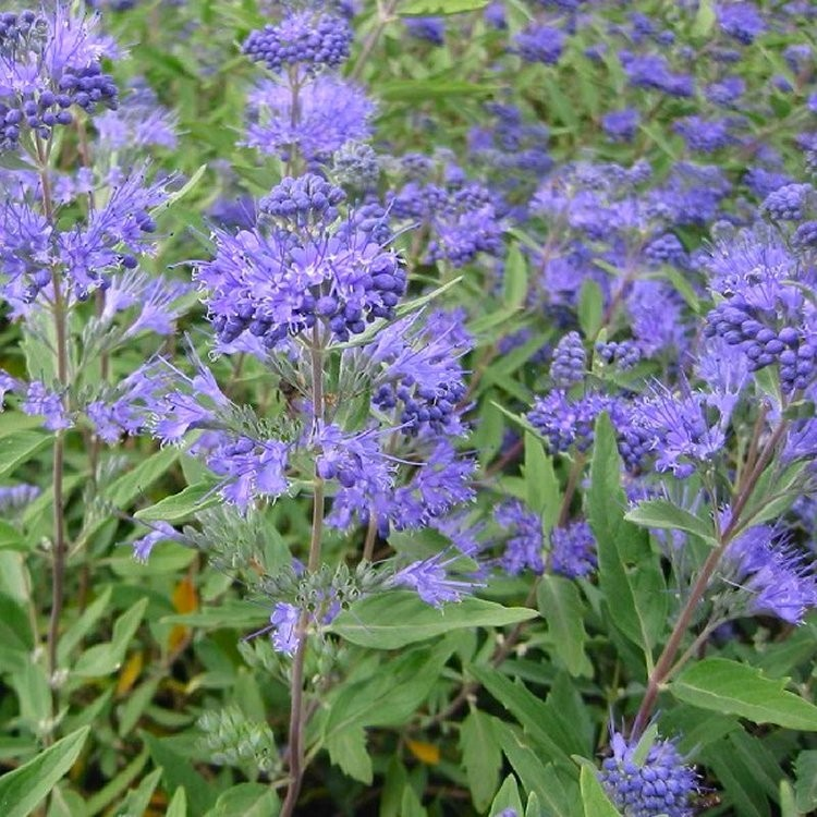 caryopteris x clandonensis heavenly blue bluebeard. Black Bedroom Furniture Sets. Home Design Ideas