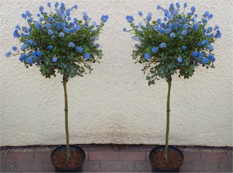Pair Of Evergreen Californian Lilac Trees   Patio Tree Ceanothus VICTORIA