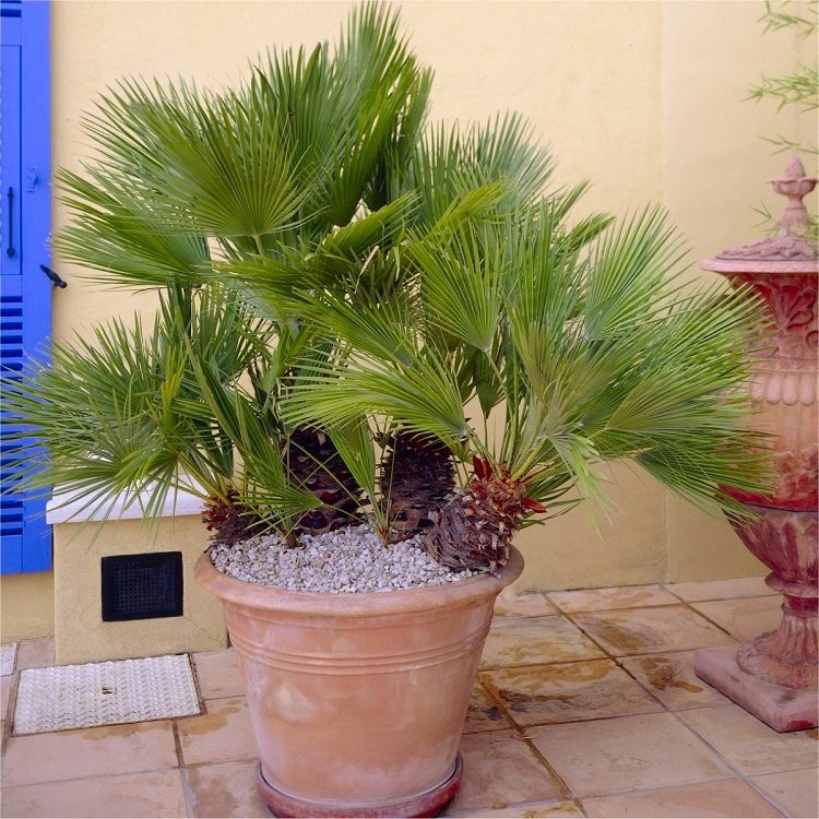 Chamaerops Humilis Hardy Mediterranean Fan Palm 60