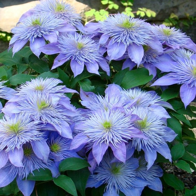 clematis crystal fountain summer flowering clematis. Black Bedroom Furniture Sets. Home Design Ideas
