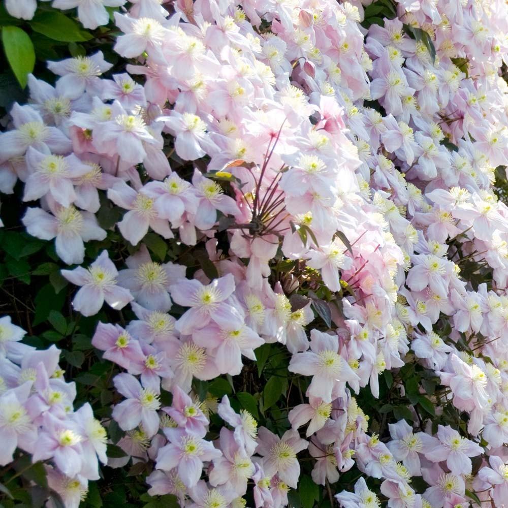 clematis montana mayleen pink flowering clematis. Black Bedroom Furniture Sets. Home Design Ideas