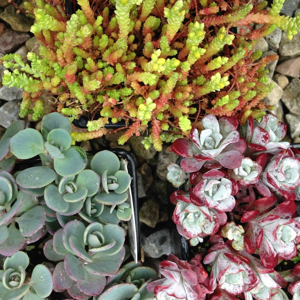 Hardy Succulent Sedum Collection Pack Of Six Evergreen