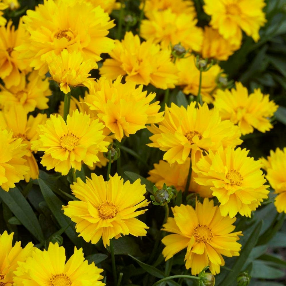 special deal coreopsis fields of gold pack of three plants