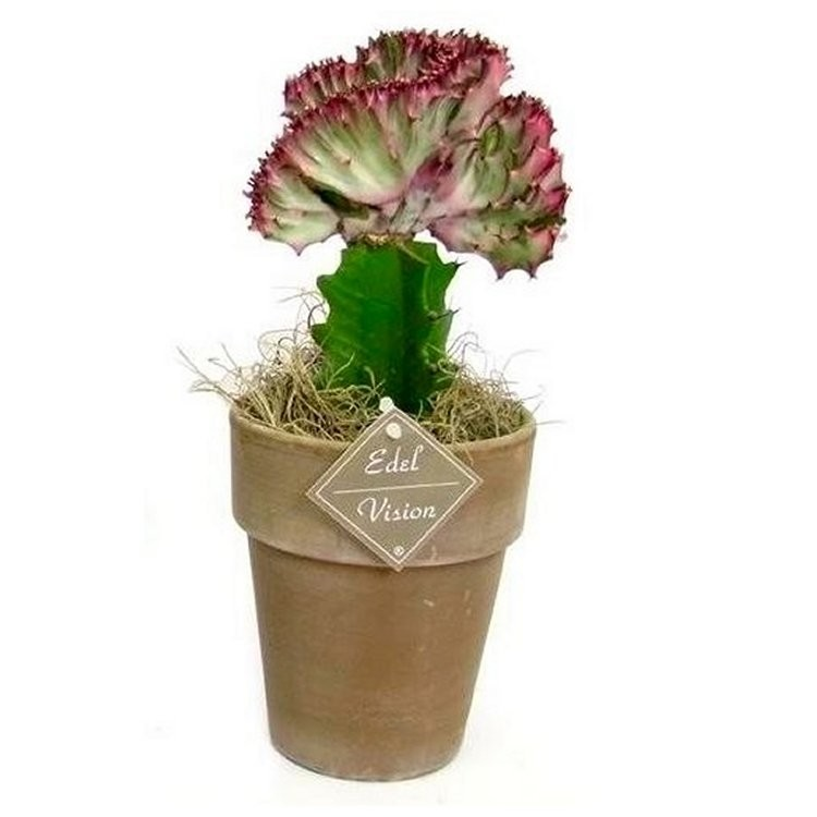 Crested cactus in decorative stone pot for Decorative rocks for sale near me