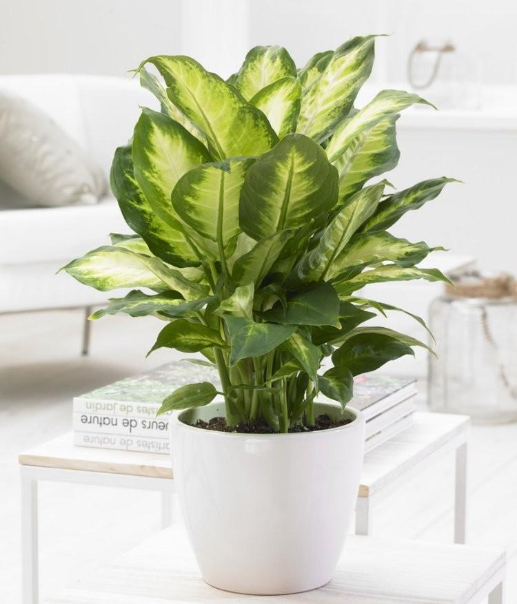 Dieffenbachia 39 compacta 39 foliage house plant with white for Planta ornamental venenosa dieffenbachia
