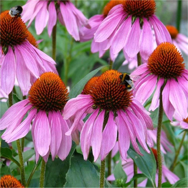 echinacea purpurea rubinstern purple cone flower pack of three plants. Black Bedroom Furniture Sets. Home Design Ideas