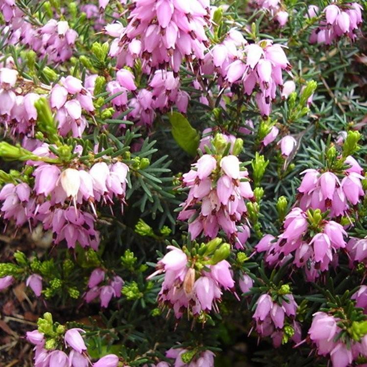 Erica Darleyensis Darley Dale Pink Winter Flowering Heather