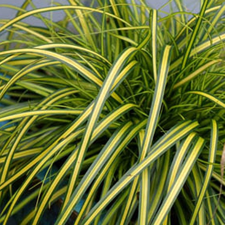 Carex oshimensis evercolor 39 eversheen 39 evergreen for Japanese mounding grass