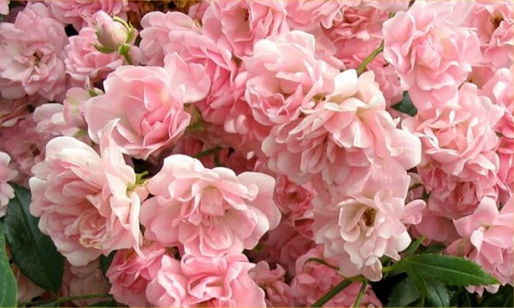 Roses In Garden: Ground Cover Fairy Rose Collection