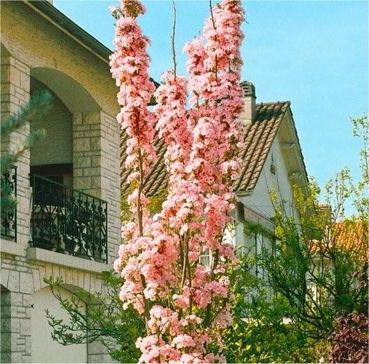 Japanese Flagpole Flowering Cherry Tree Prunus Amanagawa Garden Plants