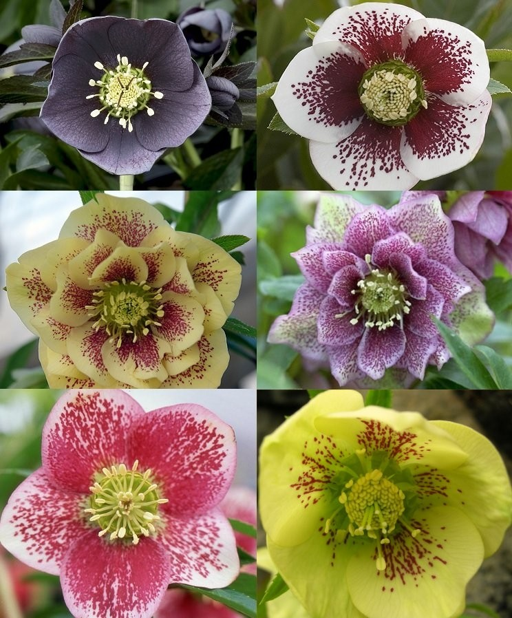 helleborus orientalis hybrids hellebore pack of three plants in assorted colours. Black Bedroom Furniture Sets. Home Design Ideas