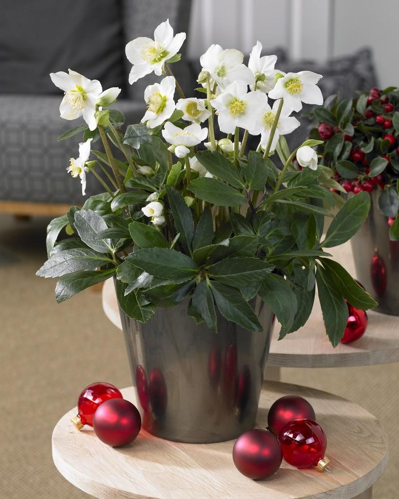 helleborus niger - white christmas roses