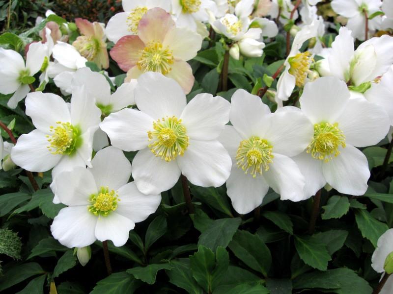 Helleborus niger white christmas roses pack of five plants in helleborus niger white christmas roses pack of five plants in gold pots mightylinksfo