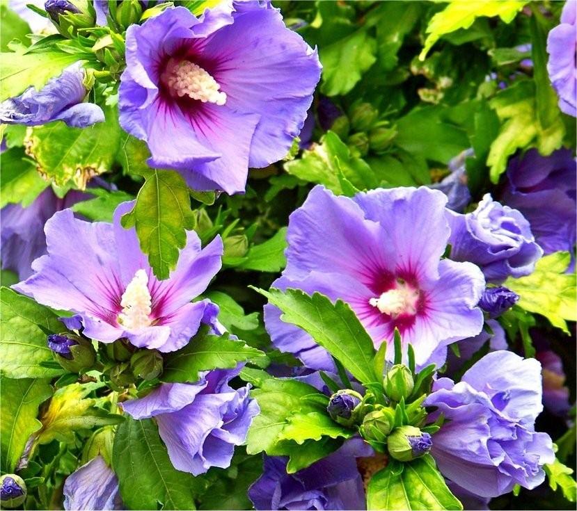 Hibiscus syriacus Blue...