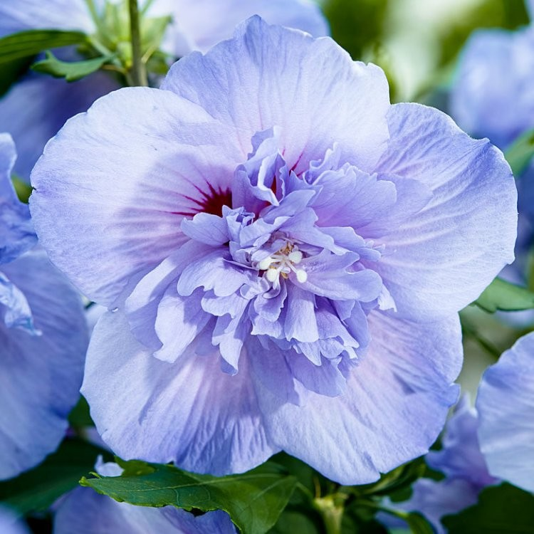hibiscus syriacus blue chiffon double flowered tree. Black Bedroom Furniture Sets. Home Design Ideas