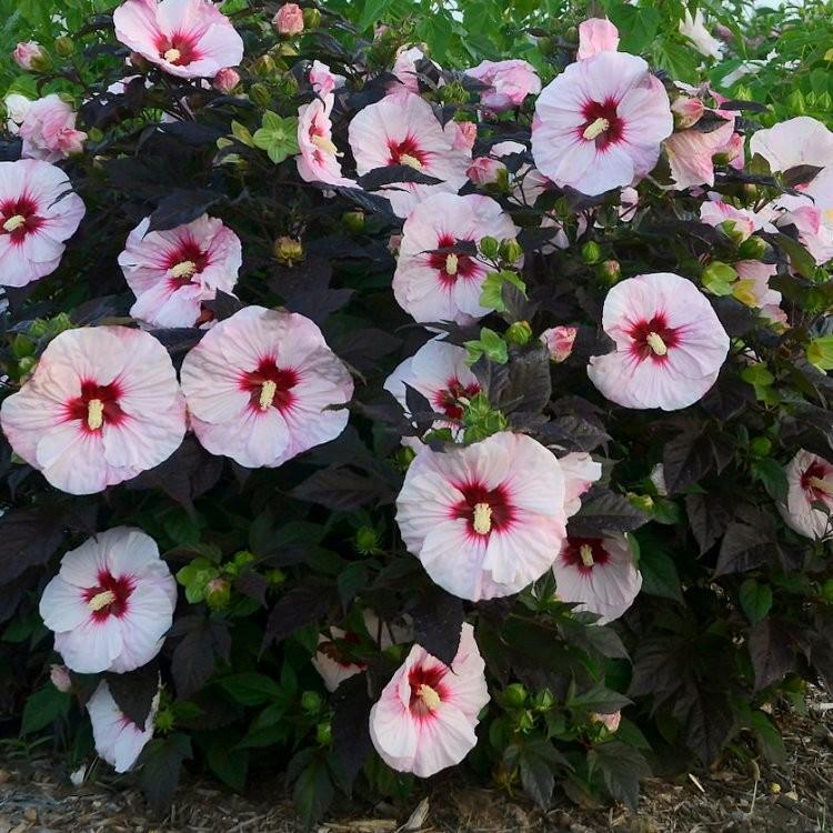 Hibiscus moscheutos Ca...