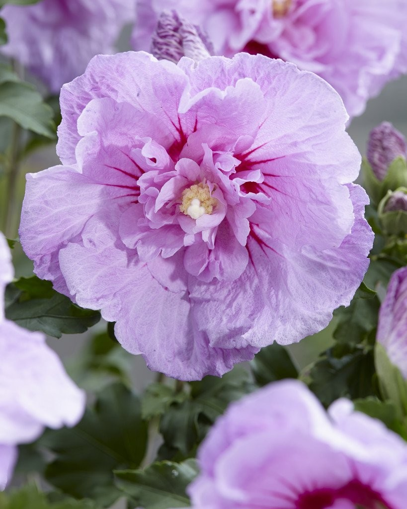 Hibiscus syriacus lavender chiffon double flowered tree hollyhock izmirmasajfo Image collections