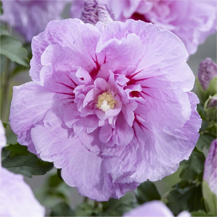 Hibiscus Syriacus Lavender Chiffon Double Flowered Tree