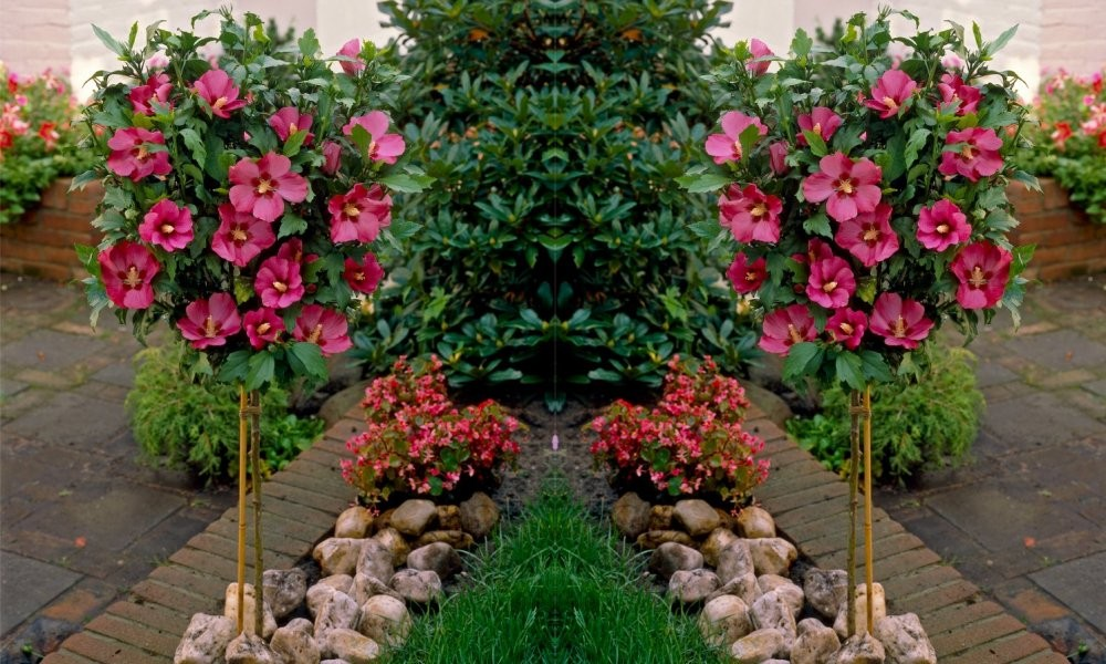 Pair Of Patio Standard Hibiscus Trees Candy Pink