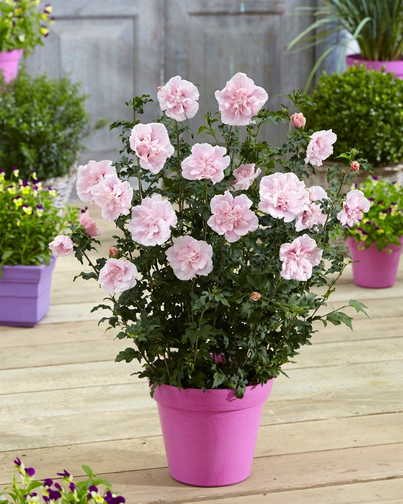 Hibiscus syriacus pink chiffon double flowered tree hollyhock izmirmasajfo
