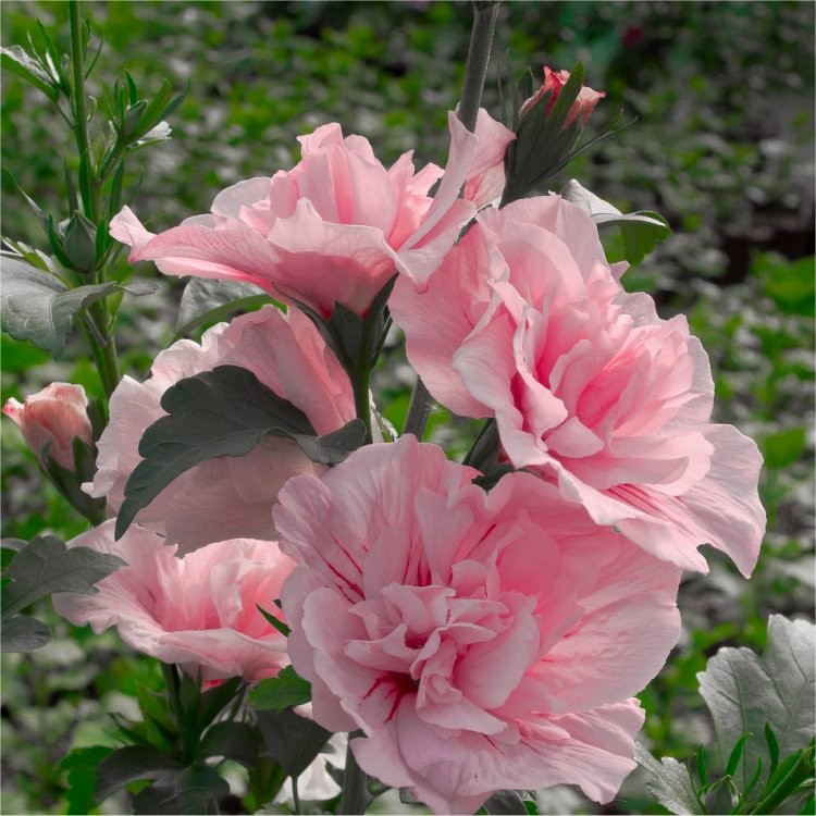Hibiscus Syriacus Pink Chiffon Double Flowered Tree Hollyhock