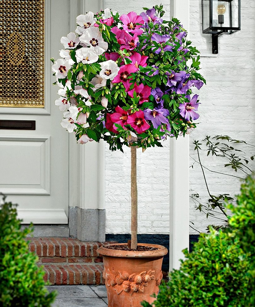 Extra Large Tricolor Hibiscus Tree Three Colours On One Tree