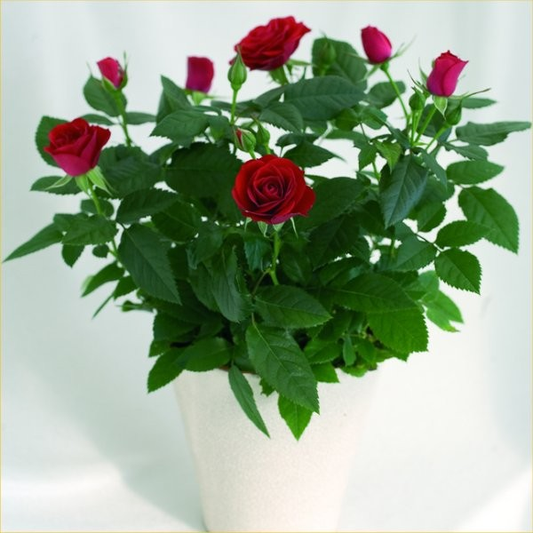 Beautiful indoor pot roses in assorted colours in white pots workwithnaturefo