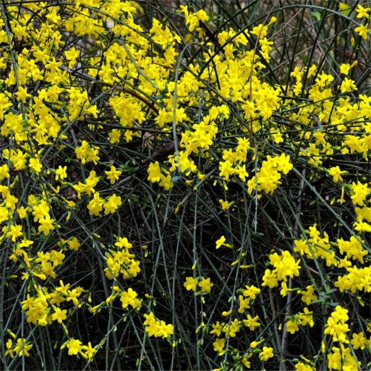 special deal jasminum nudiflorum winter jasmin bright yellow flowering winter jasmine. Black Bedroom Furniture Sets. Home Design Ideas
