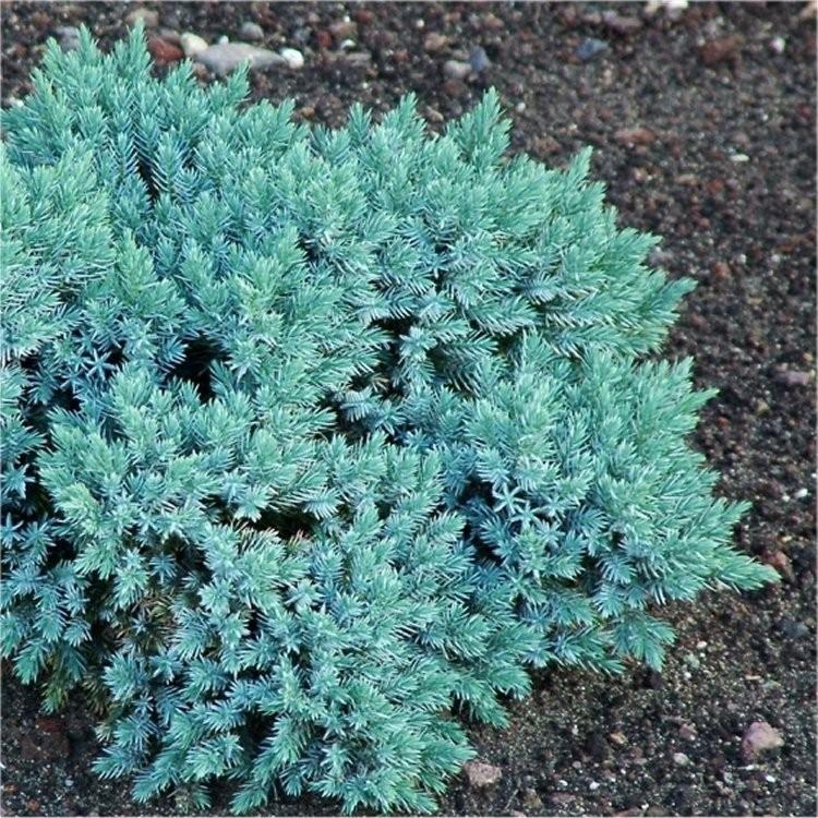 Juniperus Squamata Blue Star Dwarf Slow Growing Conifer