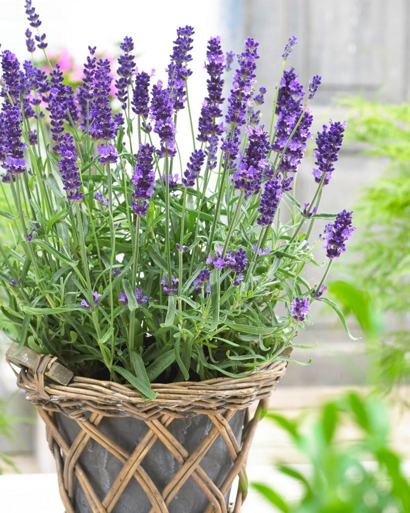 BULK PACK - Lavendula angustifolia Hidcote - English Lavender ...