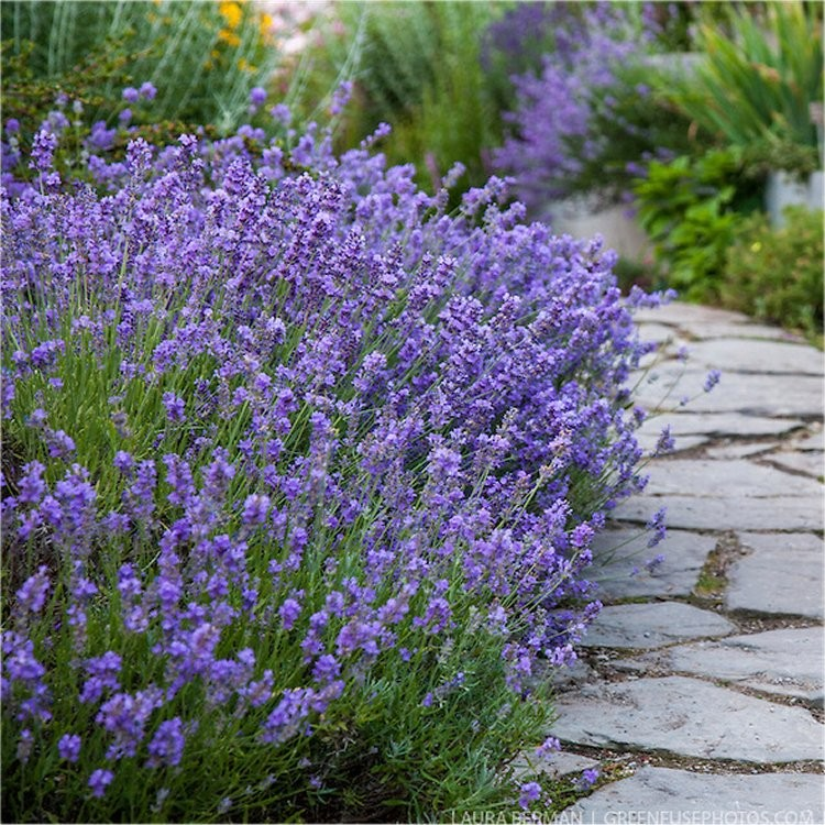 Picture of Live English Lavender aka Lavandula angust. 'Munstead' Plant Fit 1 Gallon Pot