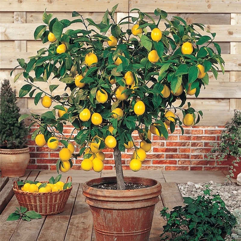Large Citrus Tree