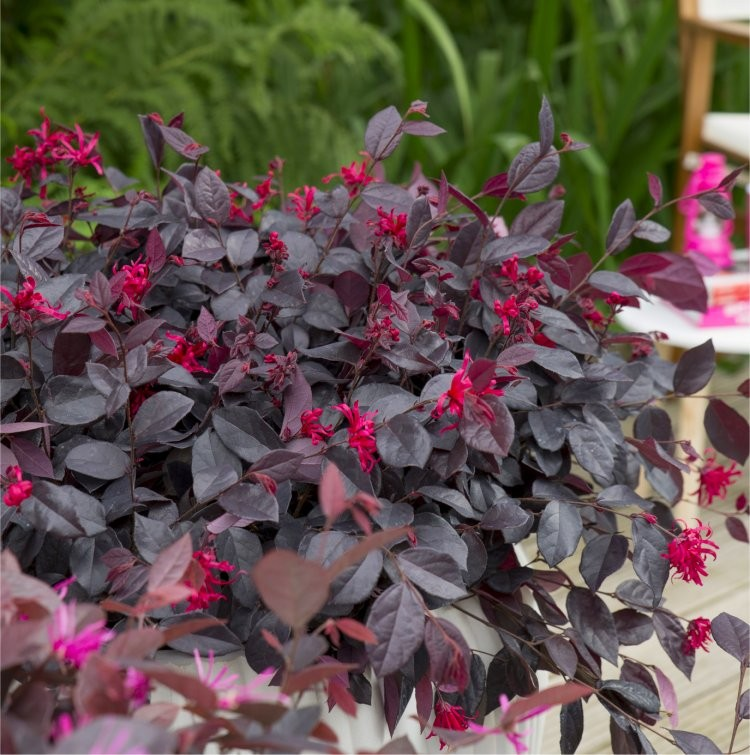 Picture of Live Chinese FringeFlower aka Loropetalum c.'Ever Red' Shrubs Plant Fit 5 Gallon Pot